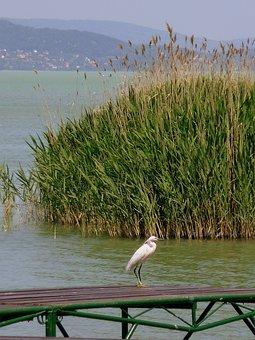 Lake Balaton, Bird, Nature, Water, Lake, Animal, Birds