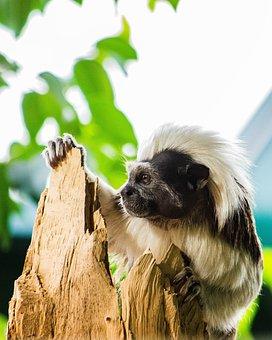 Cottontop Tamarin, Liszt-monkey, Primate, Krallenaffe
