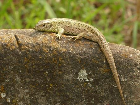 Sand Lizard, Lizard, Reptile, Cold Blooded Animals