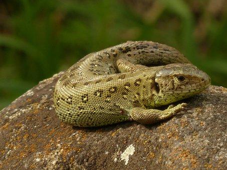 Sand Lizard, Lizard, Reptile, Males
