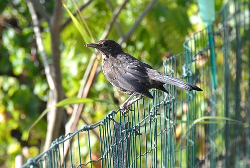 Turdus Merula, Blackbird, Birds, Ave, Passerine, Nature