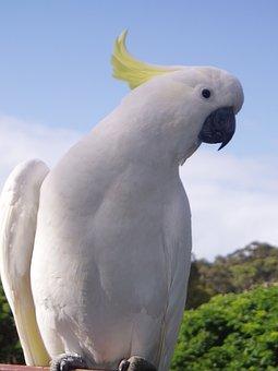 Cockatoo, Tropical, Parrot, Bird, Fauta, White Feather