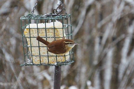 Carolina Wren, Wren, Bird, Passerine Bird