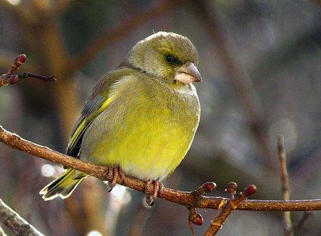 Bird, Passerine, Periwinkle, Nepreletna
