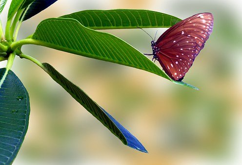 Butterfly, Striped Core, Brown, Points, Insect