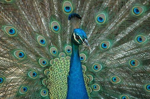 Peacock, Bird, Feathers, Colorful, Peafowl, Portrait