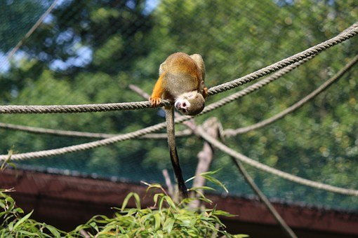 Squirrel Monkey, Monkey, Capuchin-like, Saimiri
