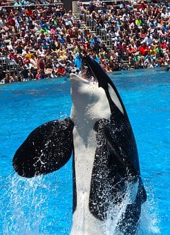 Orca, Killer Whale, Orcinus Orca, Shamu, Sea World