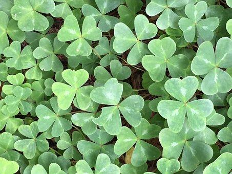 Sorrel, Shamrock, Redwood, Forest, Carpet, Green