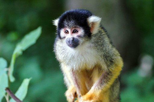 Squirrel Monkey, Monkey, äffchen, Zoo, Climb, Cute