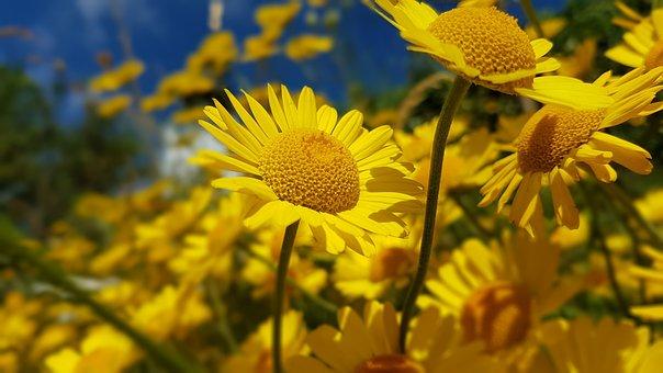 Flower, Yellow Marguerites, Yellow, Marguerite, Summer