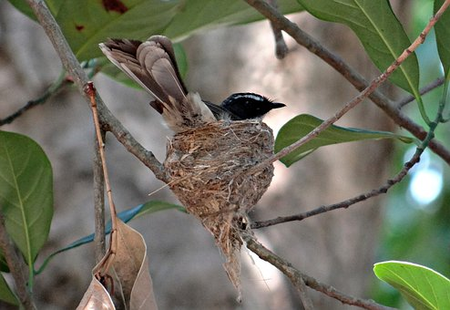 White-throated Fantail Flycatcher, Nest, Incubating