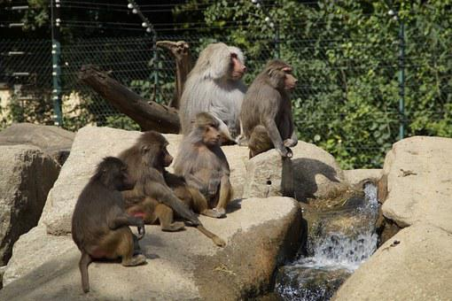 Baboons, Family, Ape, Zoo, Rock, äffchen, Young Animals