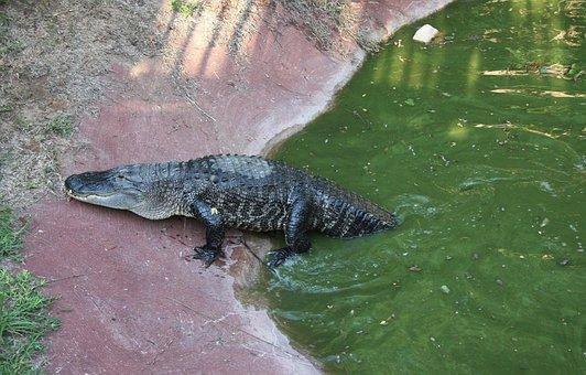 Crocodile, Reptile, Animal, Wildlife, Alligator, Wild