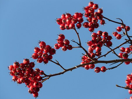 Berries, Fruits, Red, Tree, Berry Red