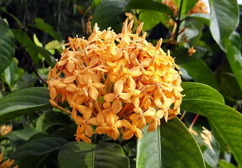 Ixora, Flower, Yellow, Creamish, Blossom, Flora, Plant
