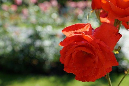 Rose, Flower, Plant, Blossom, Bloom, Botanical Garden