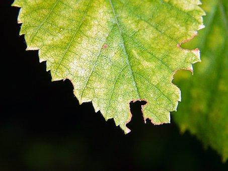 Leaf, Green, Moth-eaten, Decaying, Drying, Macro