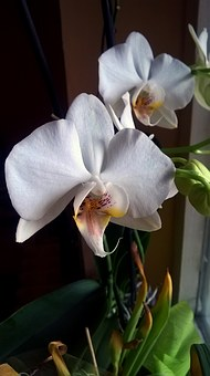 Orchid, Flower, Bloom, Blossom, White, Plant, Flora