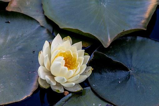 Flower, Plant, Pond, Water Lilies, Water Lily, Flowers