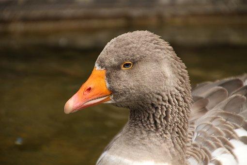 Country Goose, Goose, Domesticus Anser Anser, Bird