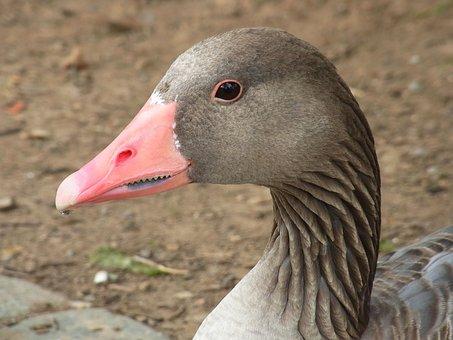 Greylag Goose, Anser Anser, Goose, Bird, Animal, Bill