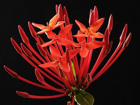 Ixora Coccinea, Flower, Blossom, Bloom, Red