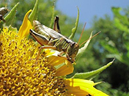 Grasshopper, Locust, Insect, Eating, Macro, Bug