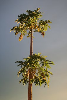 Pawpaw, Tropical, Subtropical, Plant, Tree, Organic