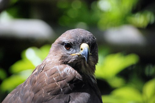 Common Buzzard, Buteo Buteo, Bird Of Prey, Raptor