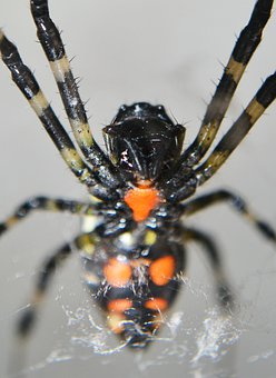 Spider, Spotted Spiders, Tiger Nail Spider, Poison