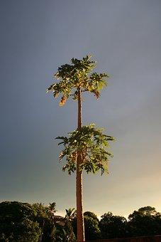 Pawpaw, Trees, Tropical, Subtropical, Plant, Tree