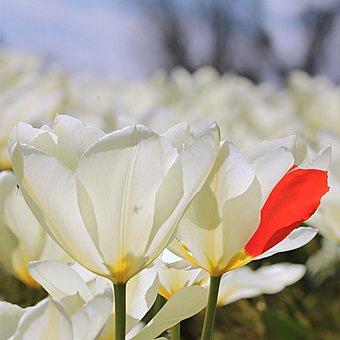 Tulip, Tulipa, Flower, White, Red Leaf, Freak Of Nature