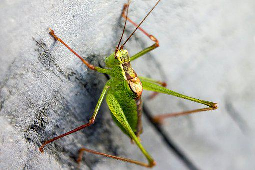 Grasshopper, Green, Acid Green, Colors, Color, Beast