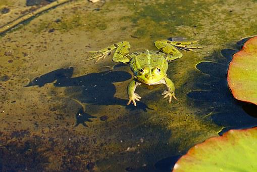 Frog, Water, Pond, Animal, Green, Amphibian, Green Frog