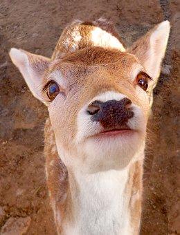 Deer, Whitetail, Fawn, Doe, Buck, Animal, Cute, Baby