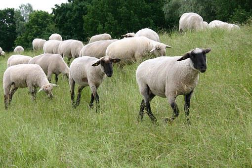 Sheep, Animal, Livestock, Meadow, Dike, Flock Of Sheep