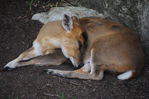 Deer, Sleeping, Animal, Nature, Mammal, Sleep, Wildlife