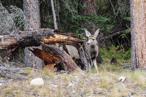 Deer, Wildlife, Animal, Forest, Mammal, Wild, Nature
