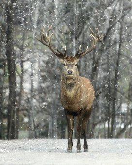 Elk, Winter, Snow, Nature, Wildlife, Wild, Animal, Deer