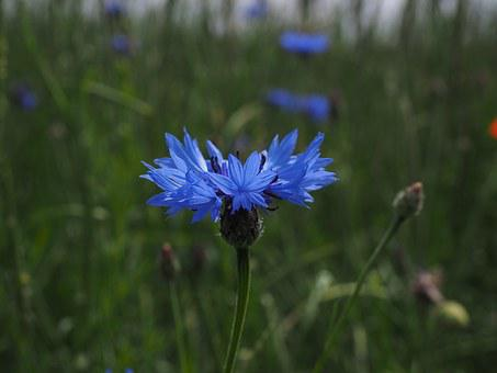 Cornflower, Flower, Blossom, Bloom, Blue