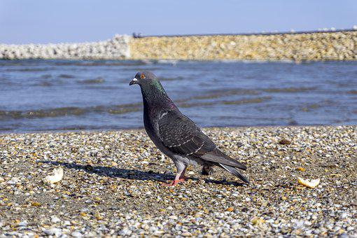 Pigeon, Great, Water, Blue, Birds, Sand, Gravel, Dig