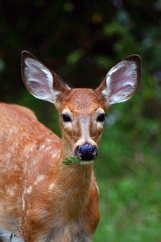 Deer, Woods, Fawn, Animal, Wild, Mammal, Buck, Male