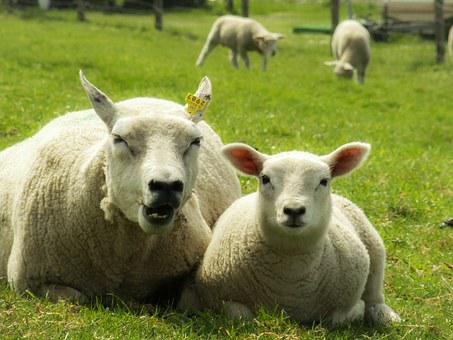 Mother, Child, Sheep, Lamb, Mother And Child