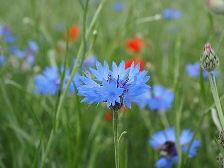 Cornflower, Flower, Blossom, Bloom, Blue, Sky Blue