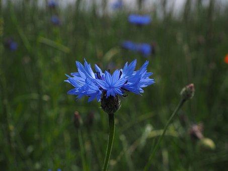 Cornflower, Flower, Blossom, Bloom, Blue