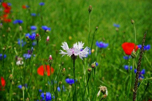 Cornflower, White, Flower, Blossom, Bloom, Blue