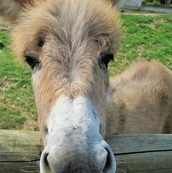 Donkey, Animal, Farm, Face, Curious, Mammal, Domestic