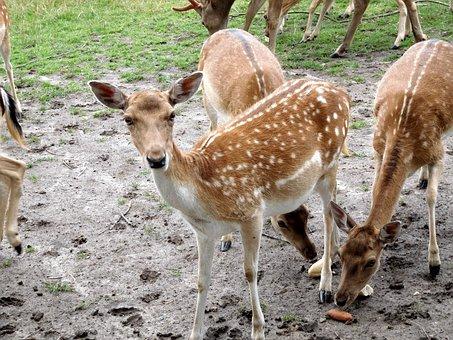 Deer, Damm Wild, Wild, Nature, Animal World, Animal