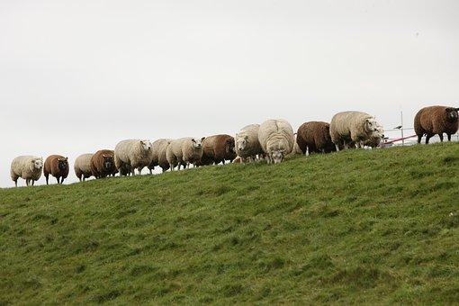 Sheep, Dike, Sheep On Dyke, Wool, North Sea, Pasture